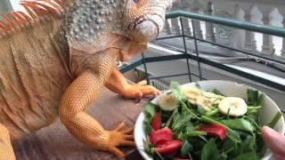 Cận cảnh Rồng Nam Mỹ Đỏ ăn uống . POP PET SHOP