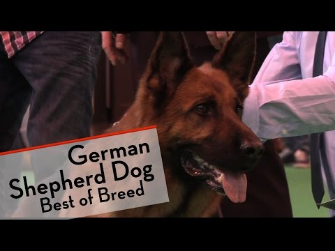 For a fifth year in a row Steve Cox was the handler of the Crufts German Shepherd Dog Best of Breed, but this time it was the daughter of the winner for the last four years, Ch Veneze Ellie.