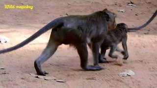 OMG! You Will Very wonder,Cry! Break Heart When See. Why Cruel Monkey do like this? MV 0118