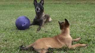 Yaden Ot Vitosha Premier Protection Puppy Program