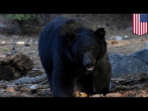 Bear Eats Dead Man's Body: Heart Attack Victim Gets Devoured By Californian Black Bear video