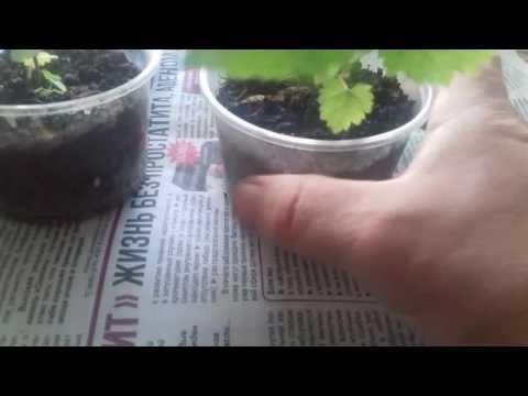 Выращивание ежевики семенами 4