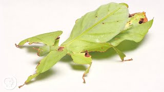 These Giant Leaf Insects Will Sway Your Heart | Deep Look