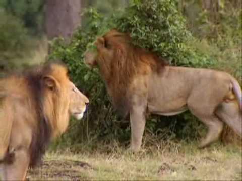 Leões -(Parte1/7) Território Selvagem  (Discovery Channel)