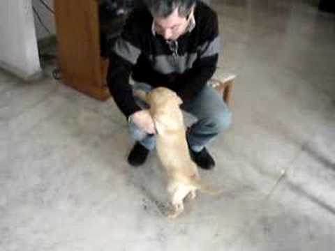 Tiger - Labrador - un poco de joda en casa Video