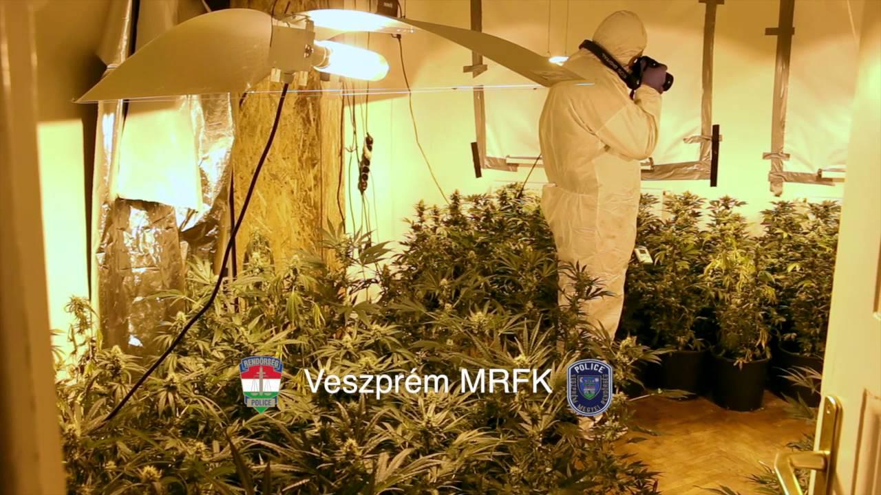 500 tő cannabist termesztett Veszprémben - videó