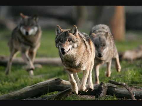 Wölfe, Wundervolle Tiere