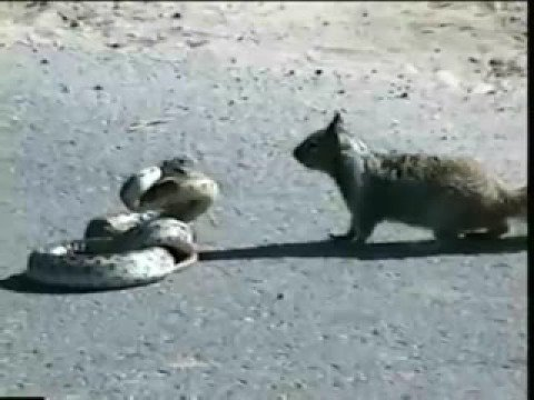 Squirrel vs Snake