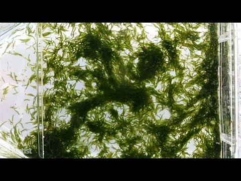 Green worms create a superorganism that becomes a giant seaweed