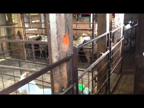 Livestock Auction, Ontario, Canada | Part 2