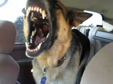 Solo the German Shepard, Growling and Showing his big Teeth