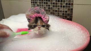 猫がシャンプー キャップを被ってお風呂に入る可愛すぎる映像