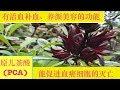 "洛神花~的功效与作用.Roselle benefits or ""roselle ""plant tea."