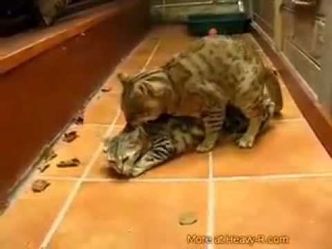 Cat Defloration video