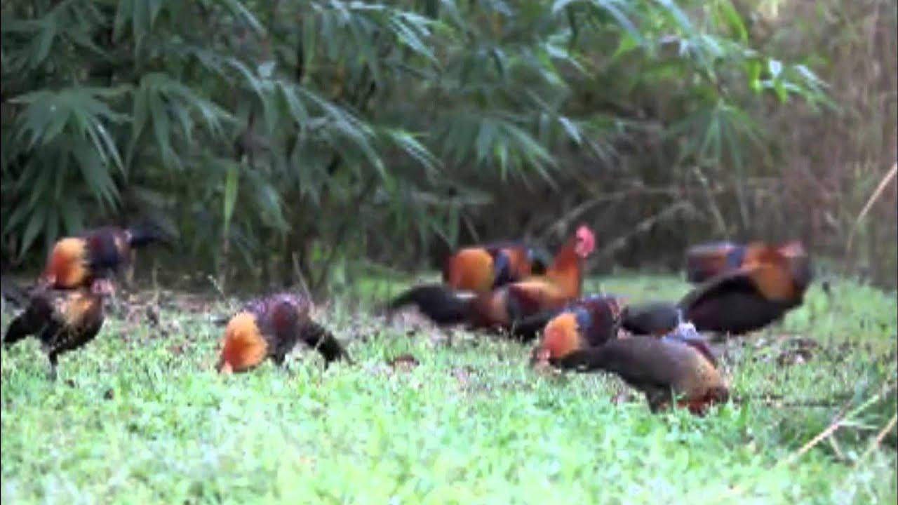 Video clips de acoplamiento de gallos
