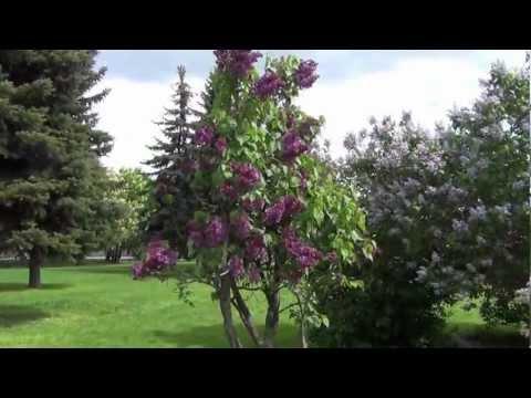 Сиреневый сад Колесникова / Lilac garden of Kolesnikov