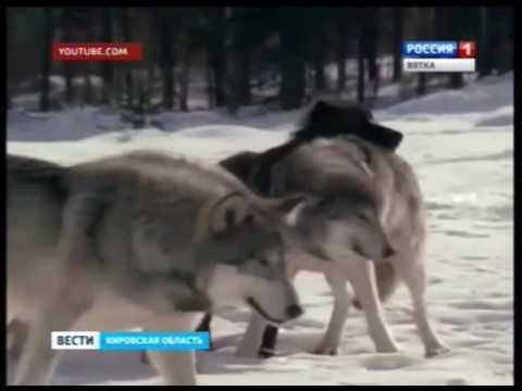 В Кировской области растет популяция волков (ГТРК Вятка)