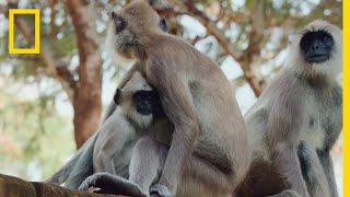 The Monkeys of Sri Lanka | Born Wild: The Next Generation