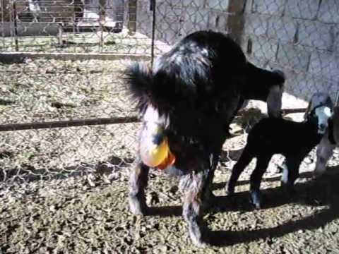ولادة الماعز (Goat parturition)