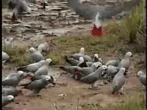 African Grey Parrots in the Wild Video