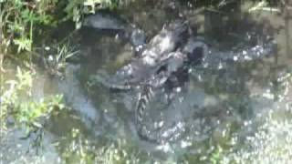 Otters destroy HUGE gator
