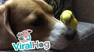 Parrot Scratches Dog Nose || ViralHog