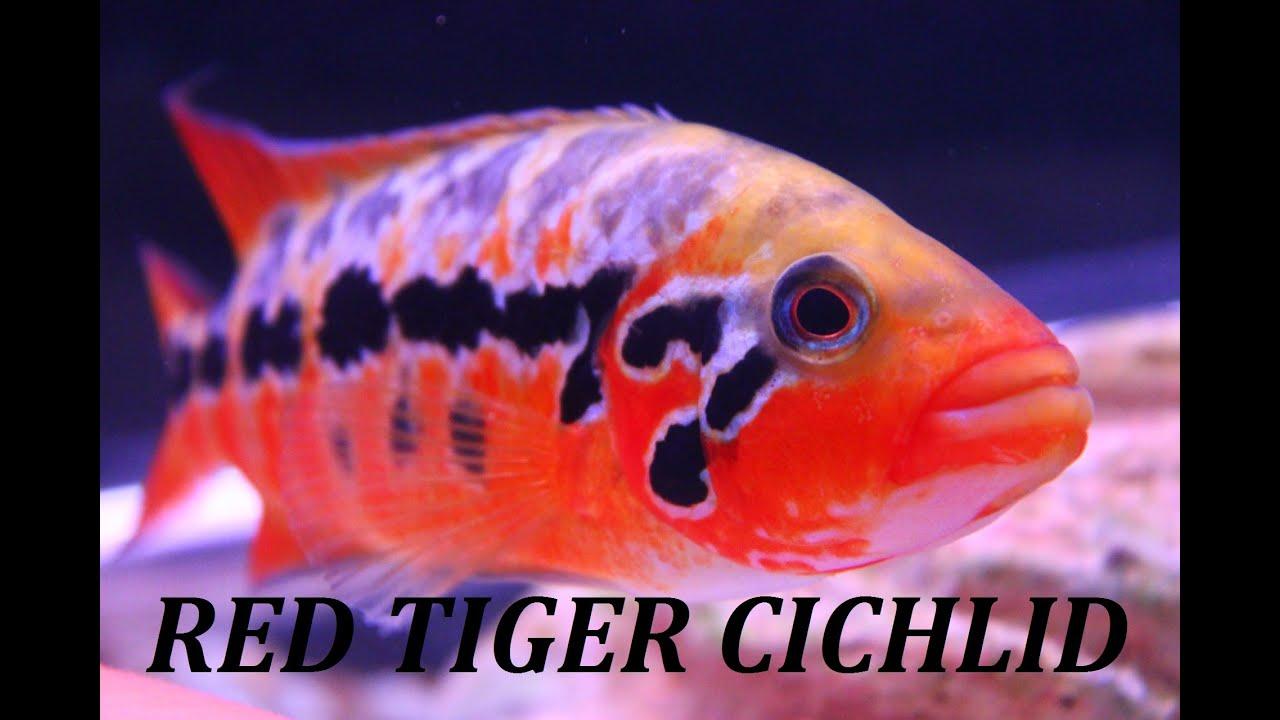 Red tiger motaguense