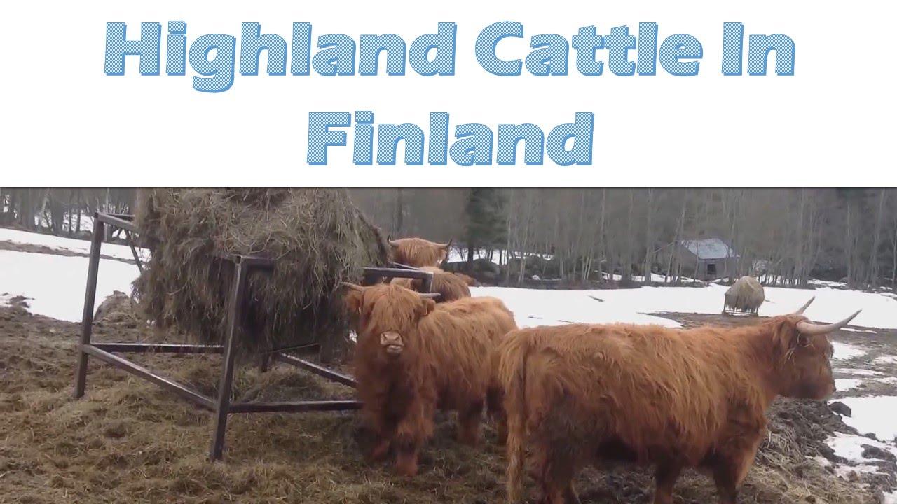 Cows Running Away Finland Cows Running Away
