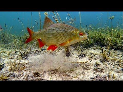 Рыбалка на опарыши поплавок подводная съёмка