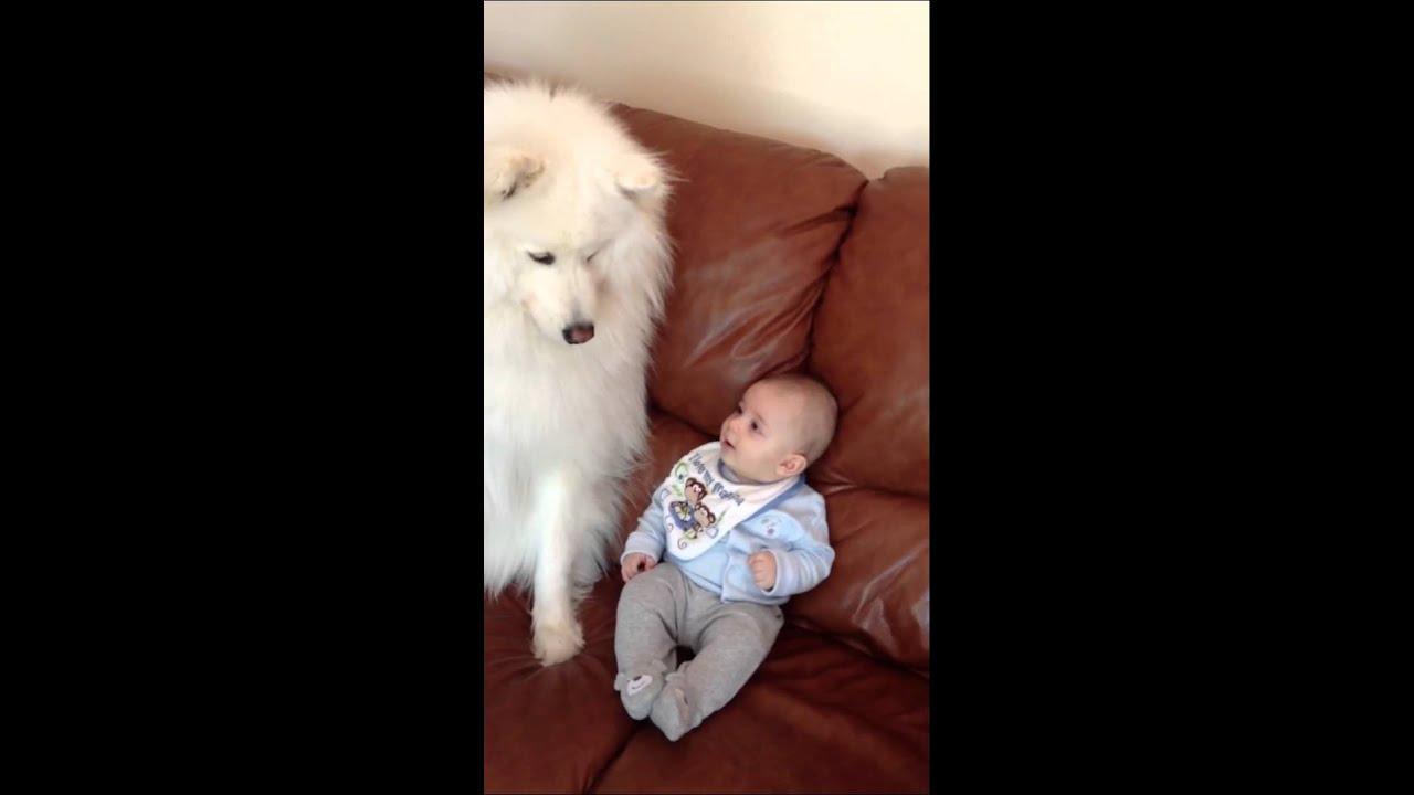 Samoyed and infant baby kissing - YouTube