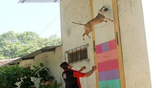 Jumping Dogs : The Best Jumping Dog You'll Ever Find - Amazing Extreme Skill