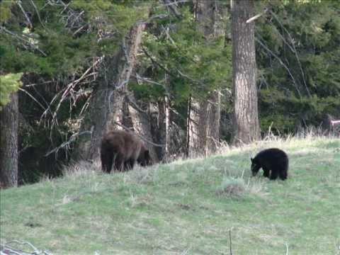 Bear Encounter in Yellowstone