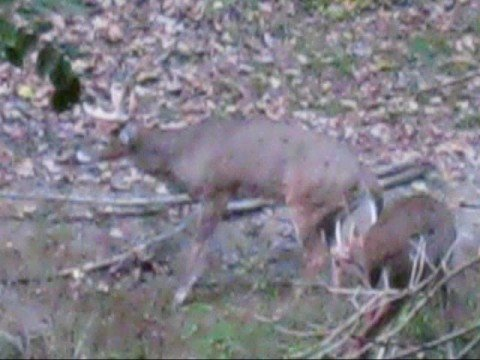 Deer hunting - Massive 10 point -