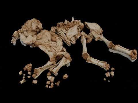 Fòssil de l'elefant antic (Palaeoloxodon antiquus) vist en 3D