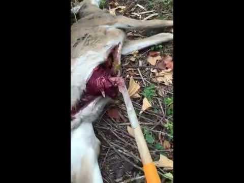 How to gut a deer with the gut shark. How to field dress a deer. how to gut wild game. gutting deer
