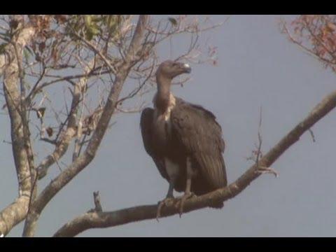 Cambodia's 'vulture restaurants'