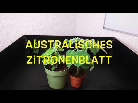 Plectranthus species »Mount Carbine« - Zitronenduft wie aus dem Paradis