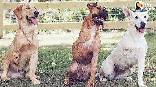AWESOME Couple Keeps Adopting 3-Legged Dogs | The Dodo
