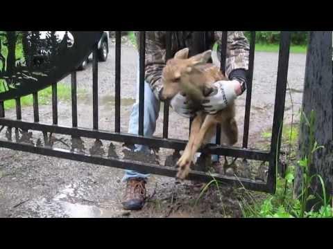 一安心☆ 柵に挟まり身動きが取れなくなった小鹿を救出!