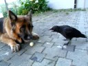 crow and dog playing with dragonball