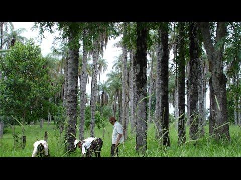 Clique e veja o vídeo Curso Cultivo e Processamento de Coco Macaúba para Produção de Biodiesel