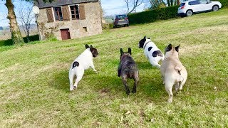 A French Bulldog Family Reunion!
