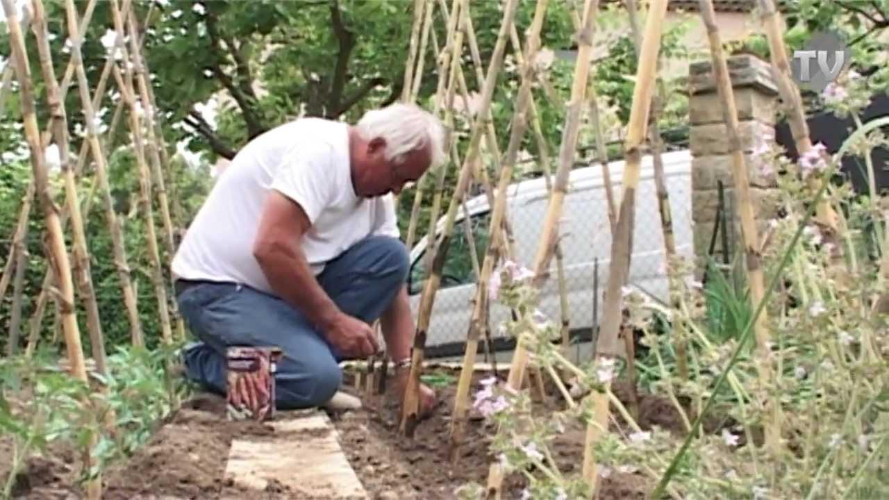Plantation des haricots rames youtube - Comment cuire les petit pois du jardin ...
