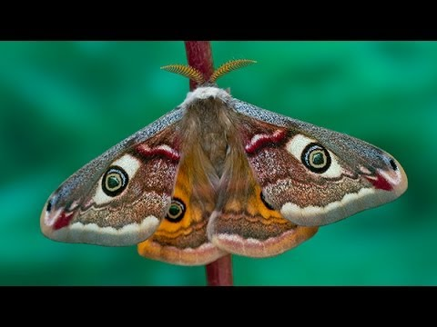 Saturnia pavonia moth development
