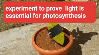 Light is essential for photosynthesis experiment