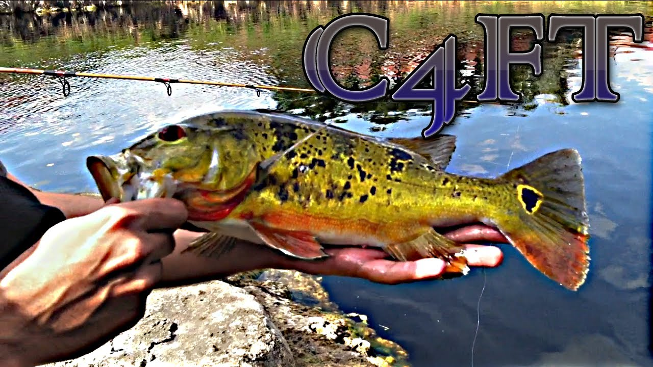 Peacock bass freshwater snook green severum fishing miami for Peacock bass fishing miami