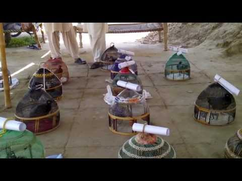 Altaf Khan Marwat Ka Kala Teetar Local Tournament 1 jun  2014 video