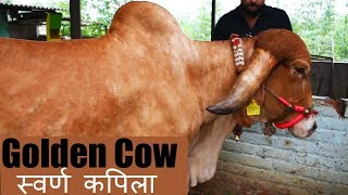 The Golden Cow of India | Swarna kapila gir cow from Gujarat