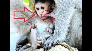 OMG-What Is This Newborn Baby Monkey?,Poor Injure Baby Janet Hungry Milk