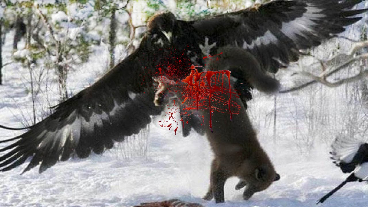 Wolf vs eagle